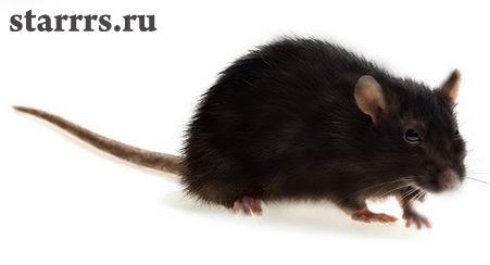 земляная крыса черная фото
