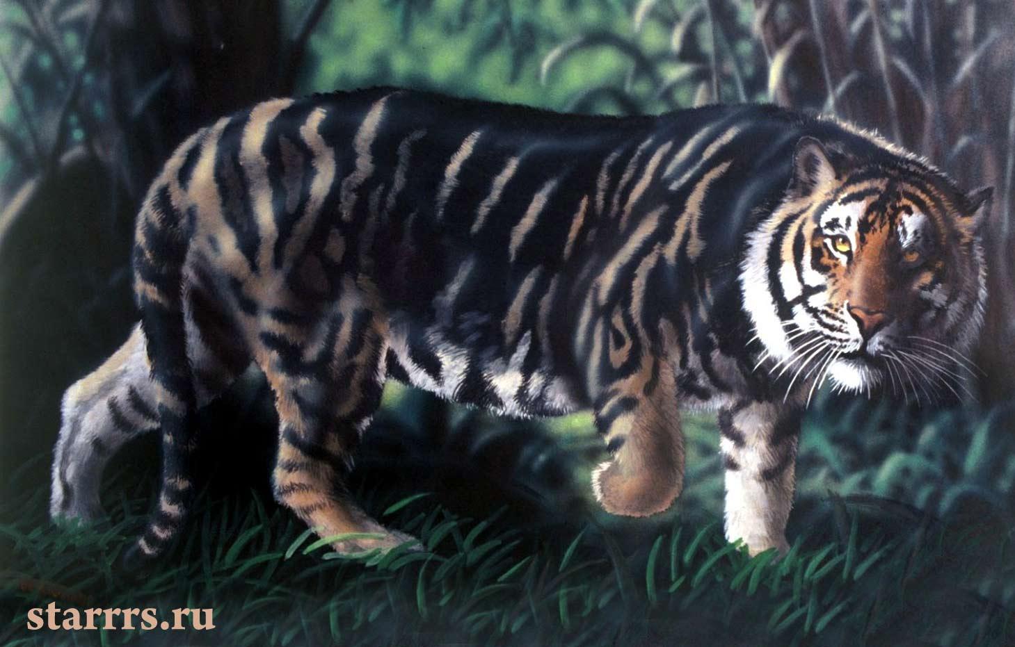 tigr_chyornyy_vodyanoy_tiger_black_water
