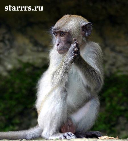obezyana_belaya_metallicheskaya_monkey_white_metal