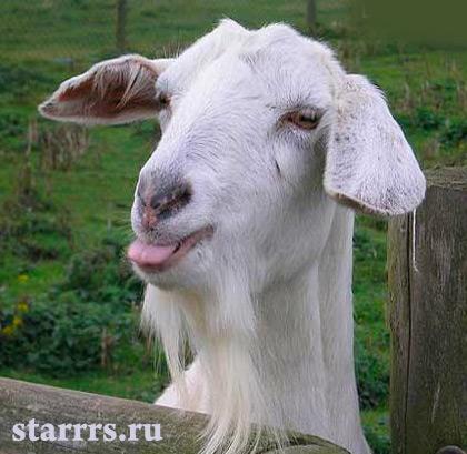 ovtsa_koza_belaya_metallicheskaya_goat_white_metal