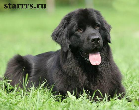 собака фото черная