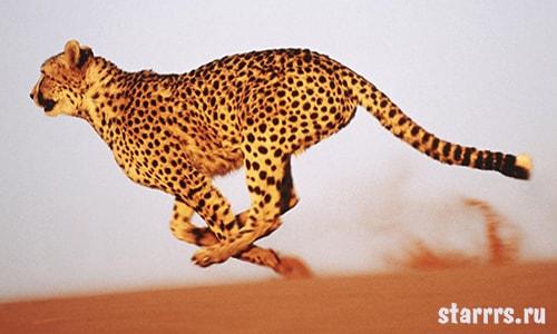 Гепард, зороастрийский гороскоп