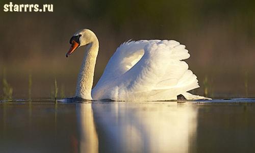 Лебедь, зороастрийский гороскоп