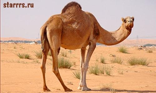 Верблюд, зороастрийский гороскоп